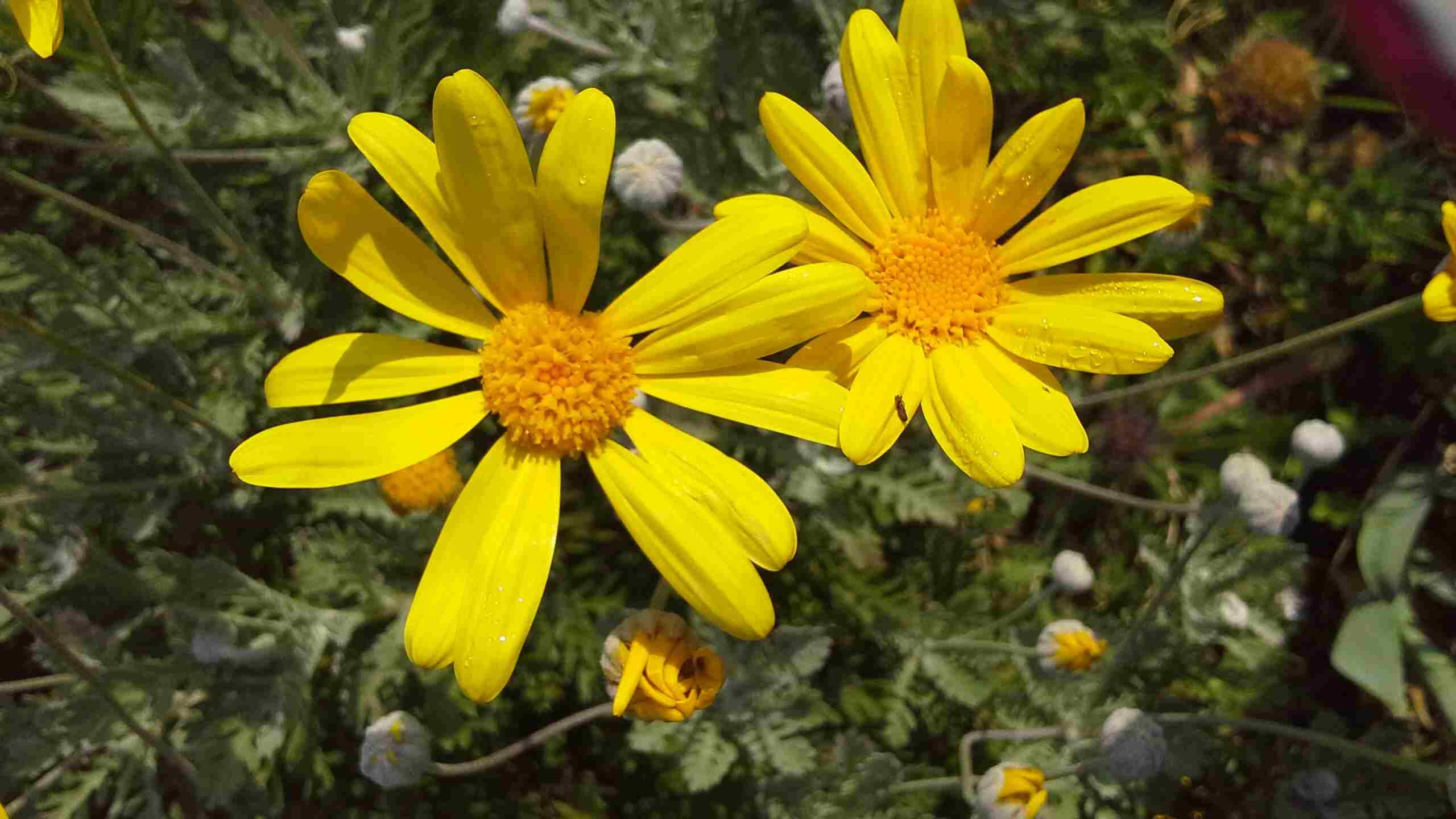 Frühling in Apulien - Gelbe Margherite