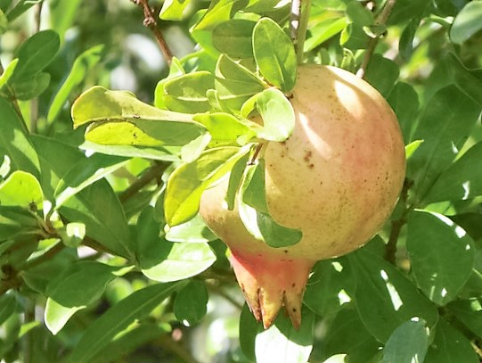 Herbst in Apulien - Granatapfel