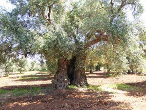 Hohler Olivenbaum
