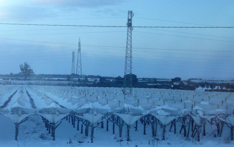 Traubenfeld im Winter
