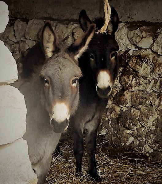 Esel im Stall - Giardini di Marzo
